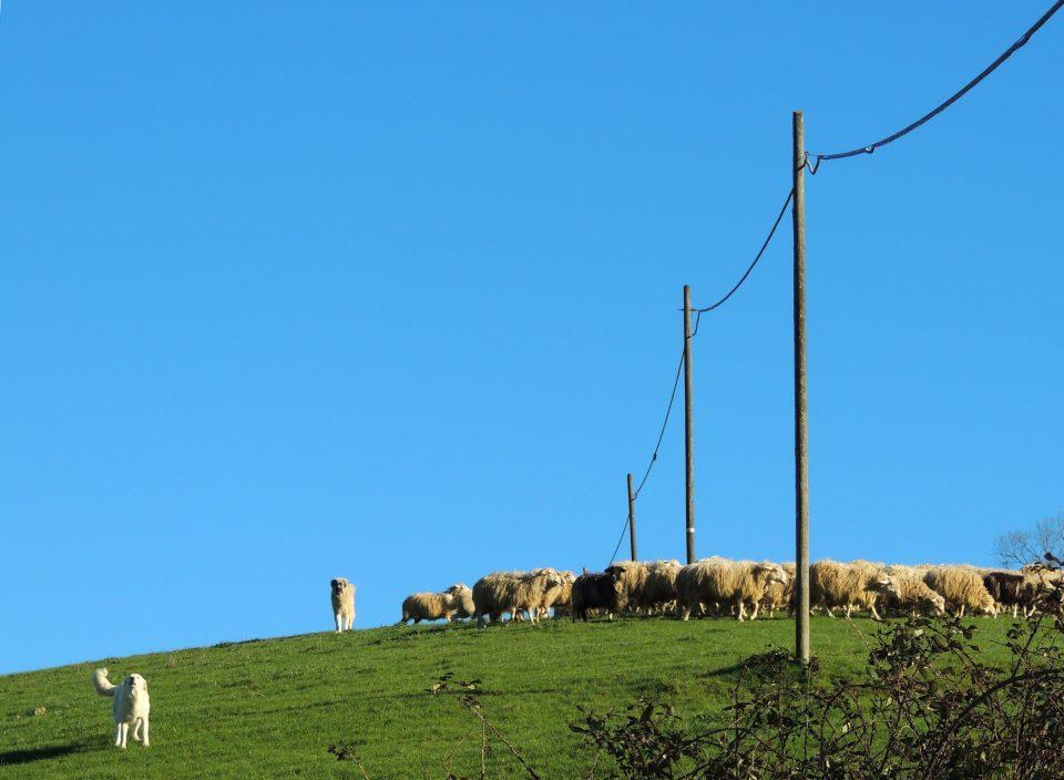 Un cane a guardia delle pecore abbaia