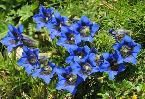 Gardenaccia